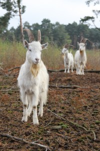 Goats on esher common